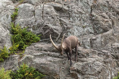 A lone Ibex on a cliff in fall Stock Photo