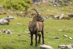 A lone Ibex on a cliff in fall Royalty Free Stock Photos