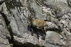 A lone Ibex on a cliff Royalty Free Stock Images
