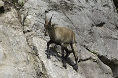 A lone Ibex on a cliff Stock Images