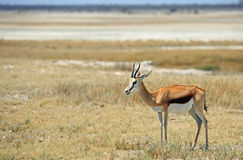A lone Impala standing on the Edge of the Etosha Pan Stock Photography