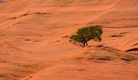 Lone, isolated tree on sandstone rock formation in Arizona. A lone tree on a red sandstone rock formation in Arizona, USA Royalty Free Stock Image