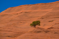 Lone, isolated tree on sandstone rock formation in Arizona. A lone tree on a red sandstone rock formation in Arizona, USA Royalty Free Stock Images