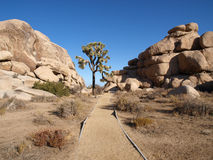 Lone Joshua Tree. With path to boulders Stock Photography