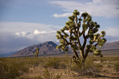 Lone Joshua Tree Stock Photo