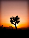 Lone Joshua Tree At Sunset. A lone Joshua tree silhouetted in the fiery light of sunset on the desert stock image