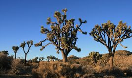 Lone Joshua Tree Stock Image