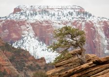Lone juniper on outcrop of red sandstone in front of West Temple in Zion National park with cloudy sky and snow. Horizontal image royalty free stock photo