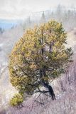 Lone Juniper on the South Slope stock photography