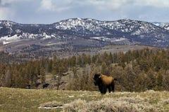 lone kantstanding för bison Royaltyfri Foto