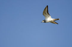 Lone Killdeer Flying in Blue Sky royalty free stock photography