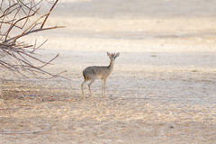 A lone Kirk's Dik-dik Royalty Free Stock Images