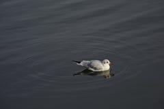 Lone Kitty wake gull in dark water with circles around genus Rissa Royalty Free Stock Images