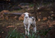 Lone Lamb. Born in winter stock photos