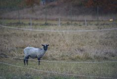 Lone lamb inside of a electric fencing Royalty Free Stock Photography