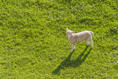 Lone lamb. Single young lamb standing on a prairie with text space Royalty Free Stock Images