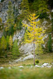 Lone larch tree in yellow autumn color Stock Images