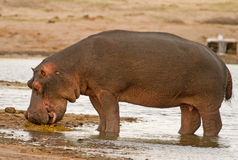 A lone large hippo on the bank next to a waterhole in Hwange National Park Stock Images