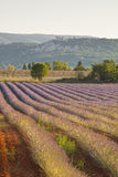 Lone lavender tree Royalty Free Stock Image