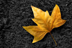 Lone Leaf Royalty Free Stock Image