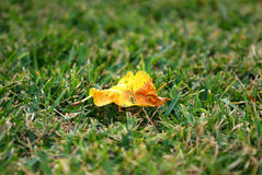 A lone leaf on grass. A yellow leaf is on grass lonely Stock Photography