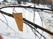 Lone leaf of small birch royalty free stock photography