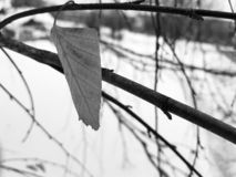 Lone leaf of small birch royalty free stock photo