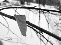 Lone leaf of small birch stock photo