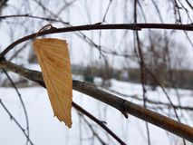 Lone leaf of small birch stock image