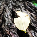 The lone leaf in the woods. The picture depicts alone leaf lying on a wooden log,which is cut down,and the leaf is remaining alone,detached from its origin Royalty Free Stock Photos