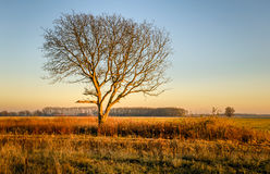 Lone leafless tree in the golden light of the setting sun. Solitary leafless tree with a broken thick branch in the golden light of the setting sun in the late royalty free stock images