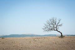 Lone and leafless tree rises on the wasteland Royalty Free Stock Image