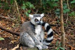 Lone lemur Stock Image