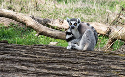 Lone Lemur sitting Royalty Free Stock Photography