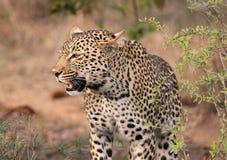 lone leopard arkivfoto