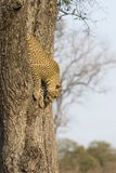 Lone leopard climbing fast down a high tree trunk in nature duri Royalty Free Stock Photos