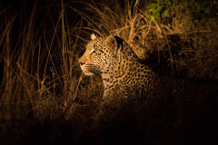 Lone leopard hunting under cover of darkness Stock Photography