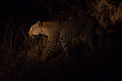 Lone leopard hunting under cover of darkness Stock Photos