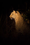 Lone leopard hunting under cover of darkness Royalty Free Stock Photography