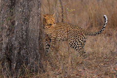 Lone leopard marking his territory on tree to keep others out. Lone leopard marking his territory on a tree to keep others out Stock Image