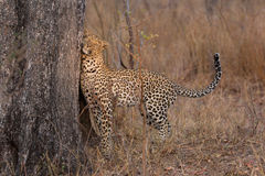 Lone leopard marking his territory on tree to keep others out. Lone leopard marking his territory on a tree to keep others out Royalty Free Stock Photos