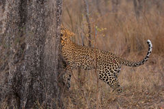 Lone leopard marking his territory on tree to keep others out. Lone leopard marking his territory on a tree to keep others out Royalty Free Stock Image