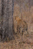 Lone leopard marking his territory on tree to keep others out Stock Images