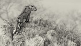 Lone leopard sit down resting on anthill in nature during daytim Royalty Free Stock Images