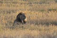 Lone lion male lay down to rest in Kalahari grass. Lone lion male lay down to rest in the Kalahari grass Stock Photos