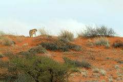 Lone lioness in the Kalahari Namibia Royalty Free Stock Photo