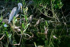 Lone Little Blue Heron stock photography