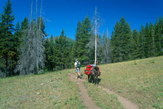 Lone Llama Packer in the Beautiful Bob Marshall Wilderness Stock Images