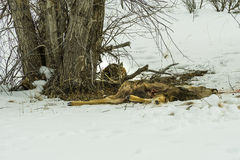 A lone Lynx is resting after recent deer kill Stock Photos
