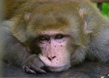 A lone macaque monkey portrait stock photography